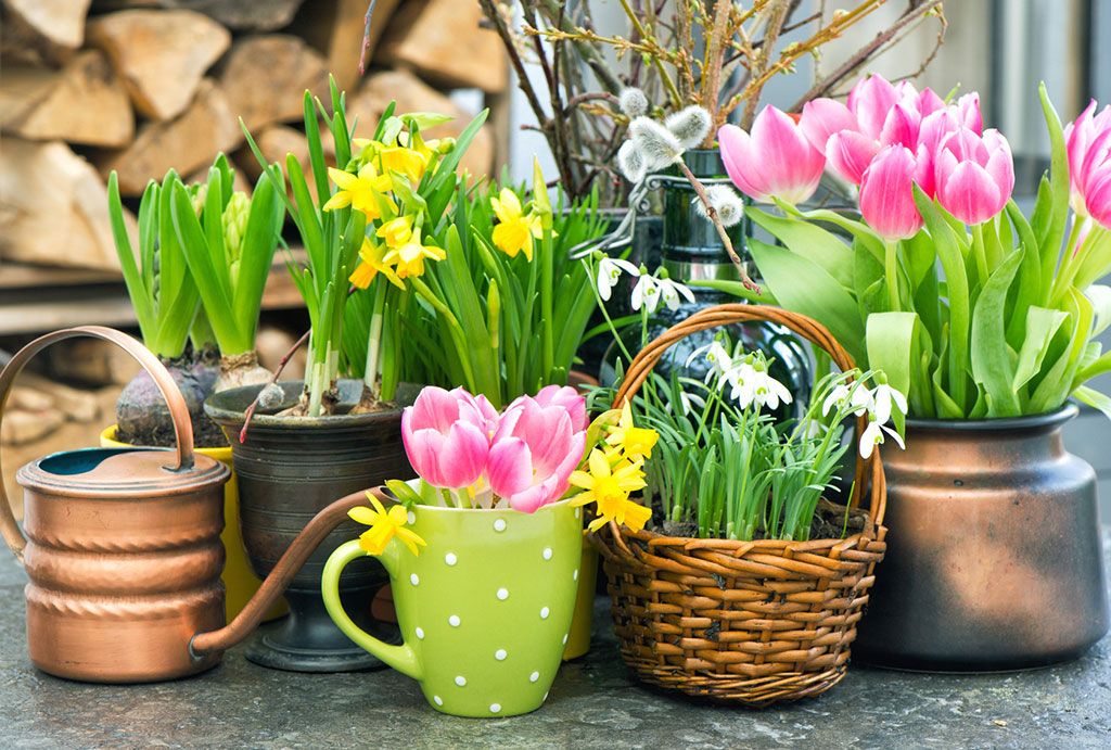 kwiaty-cebulowe-w-doniczkach