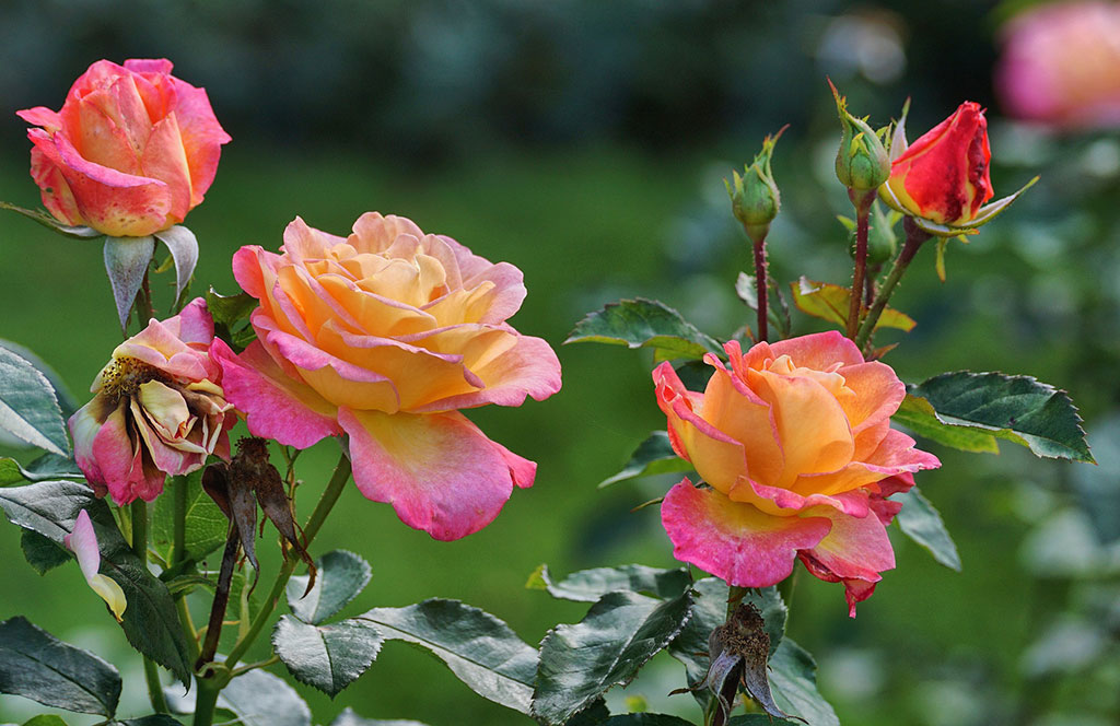 roza-pielegnacja